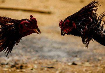 Judi Sabung Ayam Dengan Fasilitas Teristimewa