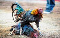 Trik Main Sabung Ayam Online Paling Gampang